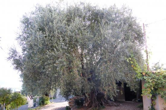 Olive Tree : Cailletier