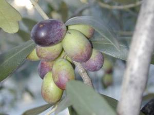 olives grappe