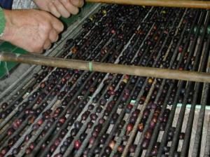Calibrage des olives