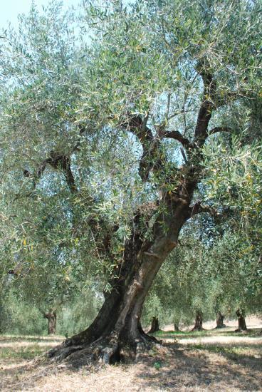 Domain Lessatini Olive trees