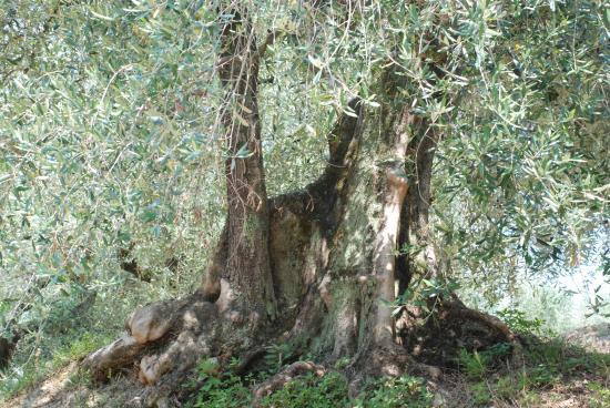 L'oliveraie