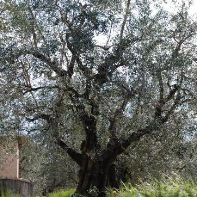 Taille des oliviers et Compost