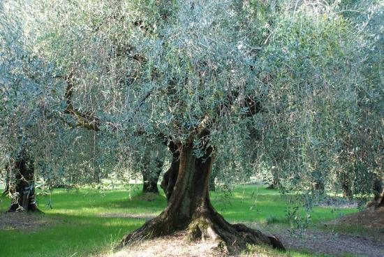 Olive Trees of the Domain Lessatini Nice