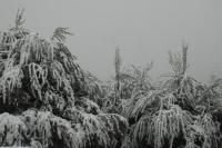 Snowing olive tree